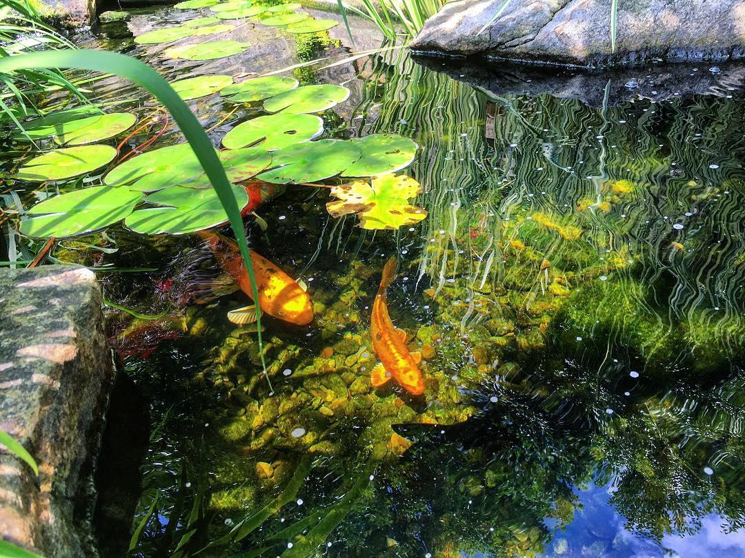 koi swimming in pond